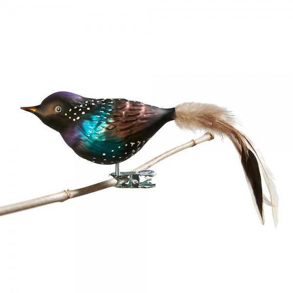 Glasvogel Star, Naturfeder